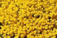 alisso nano giallo
