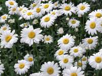 chrysanthemum o margheritone bianco perenne