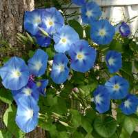ipomea rampicante blu
