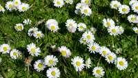 margheritina bianca per tappeto erboso