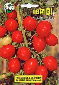 pomodoro a grappolo d'inverno