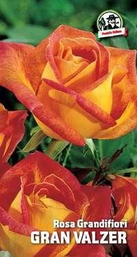 rosa grandifiori Gran Valzer