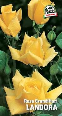 rosa grandifiori Landora