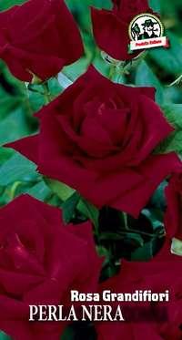 rosa grandifiori Schwarzemadonna o Perla Nera