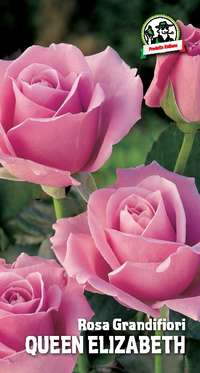 rosa grandifiori Queen Elizabeth