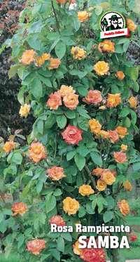 rosa rampicante Samba
