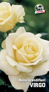 rosa grandifiori Virgo
